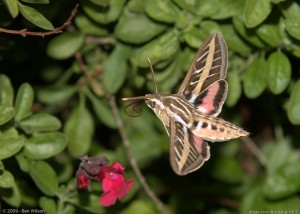 white-lined-sphinx-moth