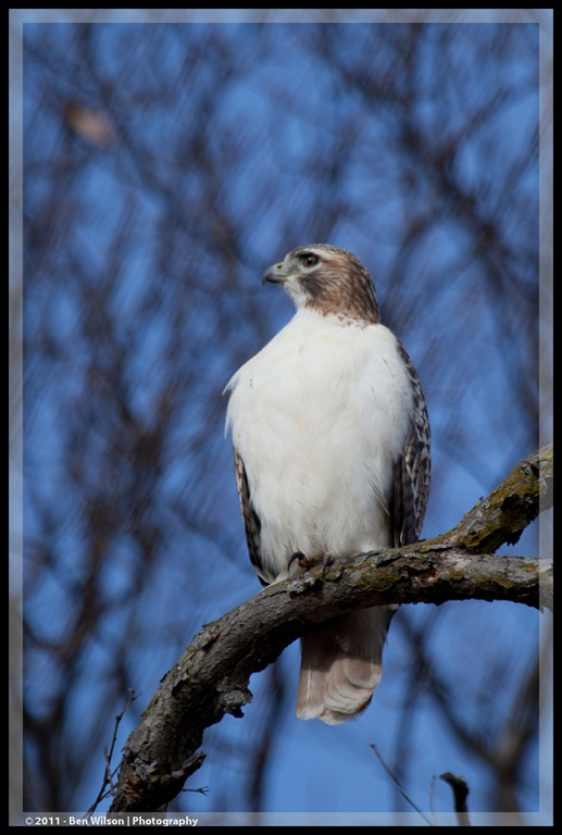 A Very White Red Tailed Hawk Ben Tina 39 S World