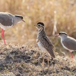 Heuglin's Courser (Three-banded Courser) and Crowned Lapwing