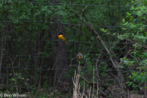 The FOY Orioles also showed up yesterday