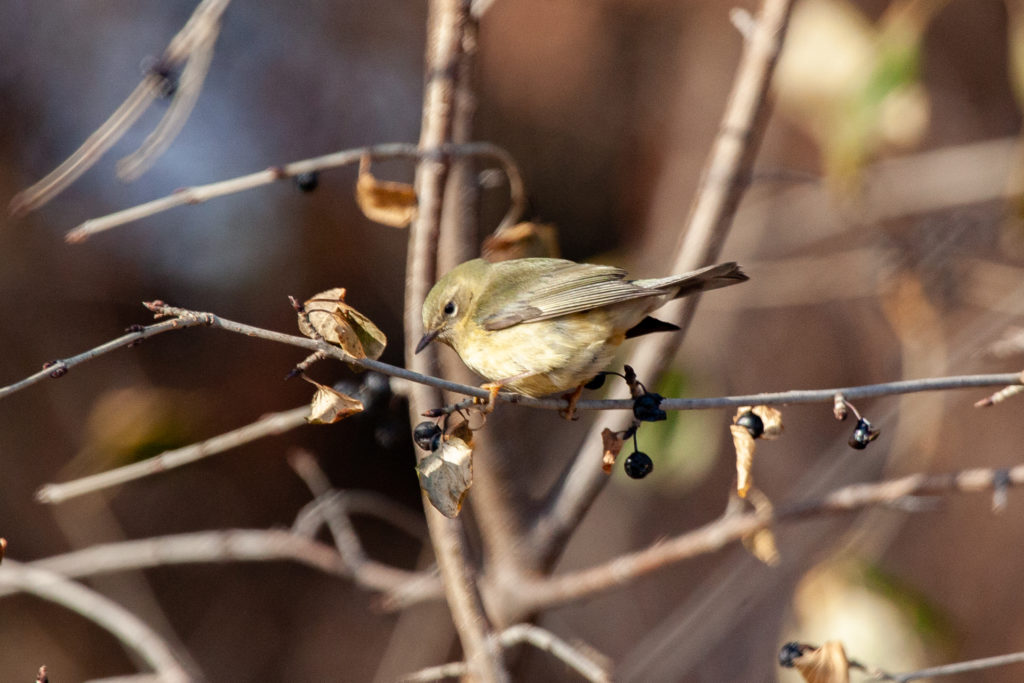 Young Black-throated Blue Warbler in December found at Vadnais Lake.
