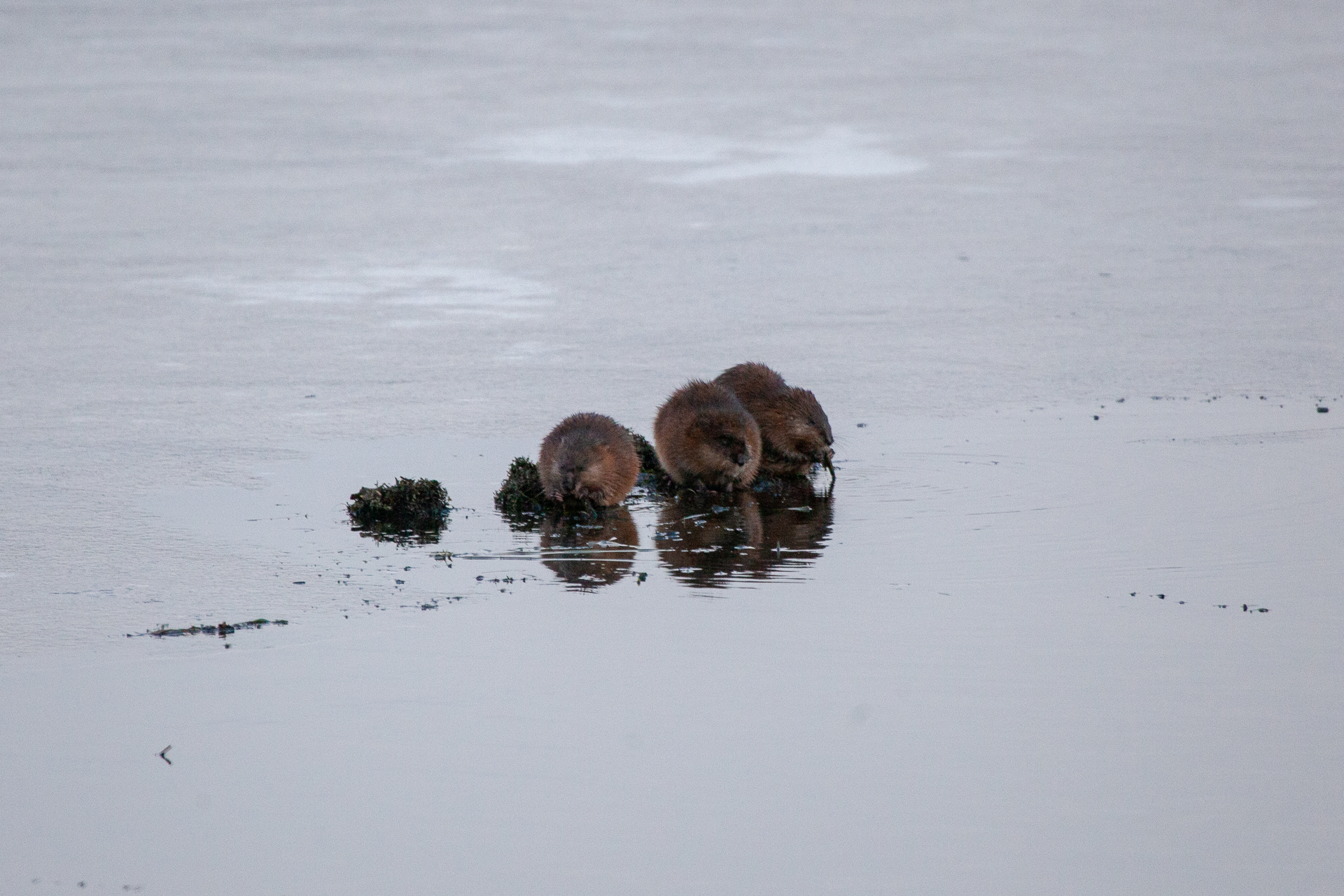 Muskrats on the ice